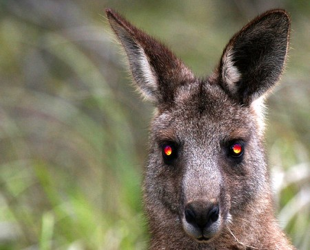 Evil Kangaroo 450x364 Woman says kangaroo 'stalked' her for two days before attacking