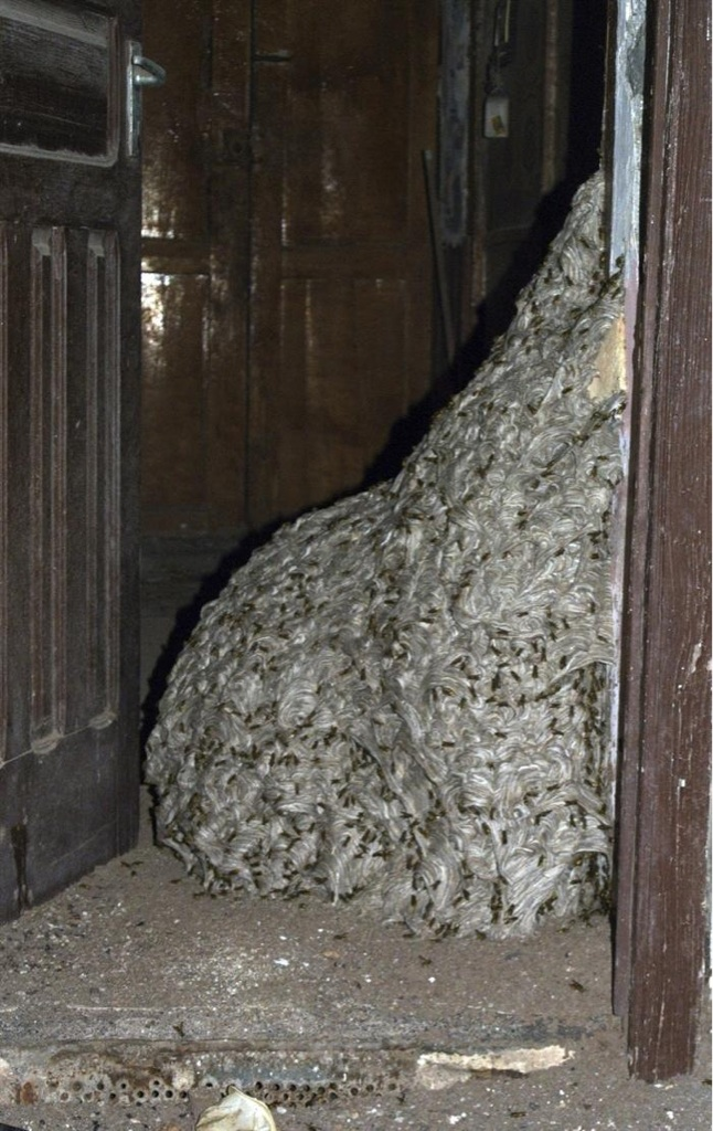 7 meter wasp nest Seven metre wasp nest found in abandoned house